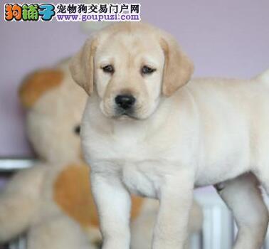 自家繁殖纯种绍兴拉布拉多犬转让售后有保证