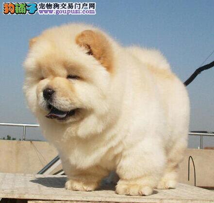 直销纯种健康上海松狮犬 高品质可进行体检有健康证书