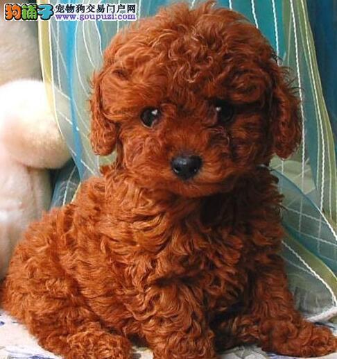 实体店热卖泰迪犬颜色齐全品质优良诚信为本