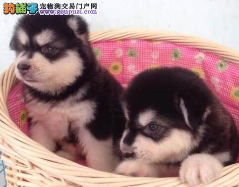 精品双十字西安阿拉斯加雪橇犬狗场低价转让 有保证