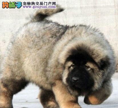 高加索犬幼犬出售 纯俄系品种 高大威猛 纯种健康