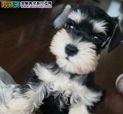 2~4个月的昆明雪纳瑞幼犬找爸爸妈妈 多种血系出售