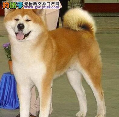 杭州狗场出售日系纯血统的秋田犬 高端伴侣犬 值得拥有