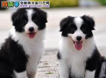 苏州狗场直销优秀边境牧羊犬 七白到位品质优秀