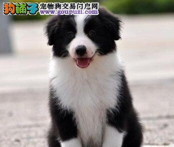 石家庄精品高品质边境牧羊犬幼犬热卖中最优秀的售后