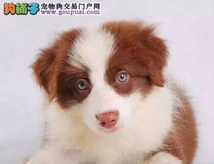 广州名豪宠物狗场超纯种的边境牧羊犬