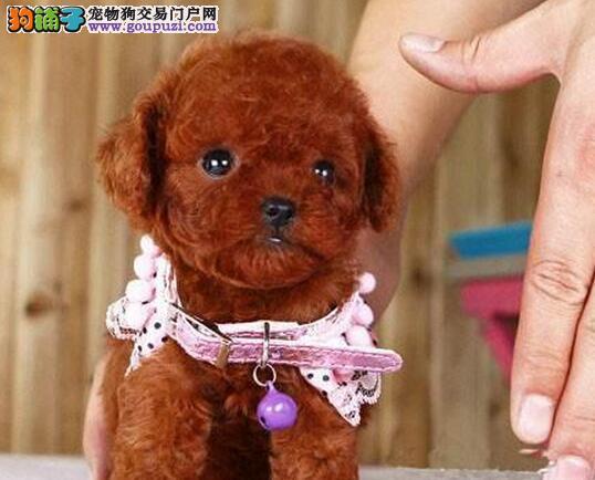 颜色齐全疫苗驱虫已做的长春泰迪犬找新主人 签订协议