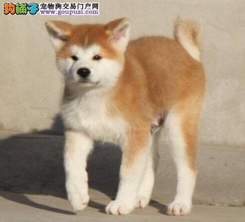 长沙狗场低价出售纯日系血统秋田犬 赛级品质证书齐全
