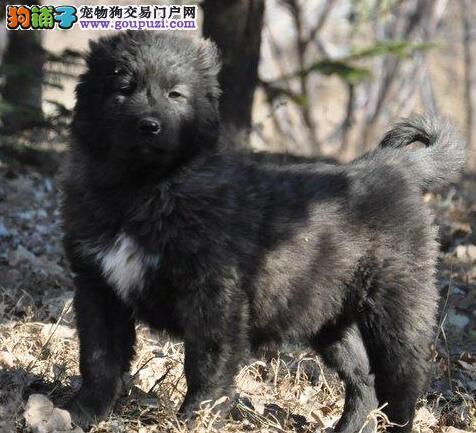 直销超高品质吐鲁番高加索犬血统正宗包售后
