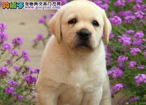 拉布拉多幼犬热销中 公母均有多只选择 喜欢加微信