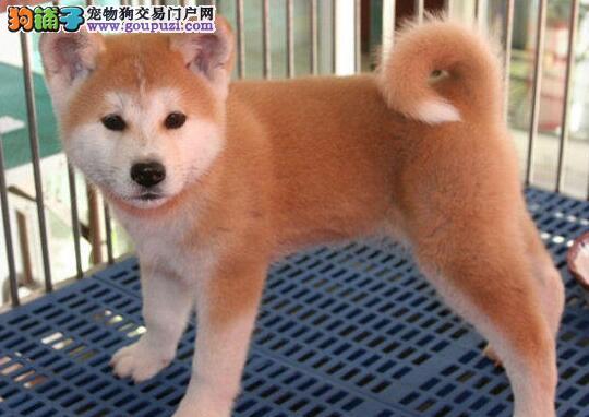 低价促销健康的郑州秋田犬 颜色靓丽疫苗已做