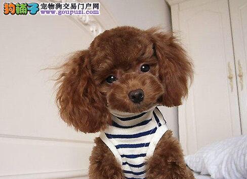 权威机构认证犬舍 专业培育泰迪犬幼犬签署质保合同