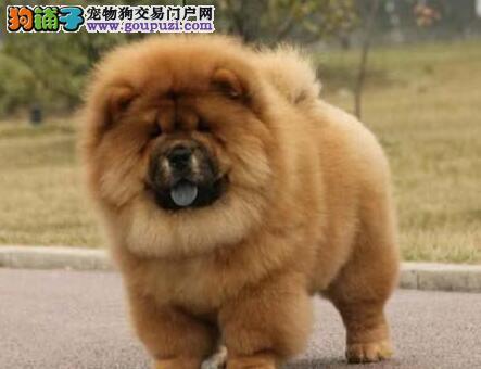 出售松狮幼犬品质好有保障期待您的光临