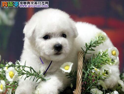 家养多只北京比熊宝宝出售中价格低廉品质高