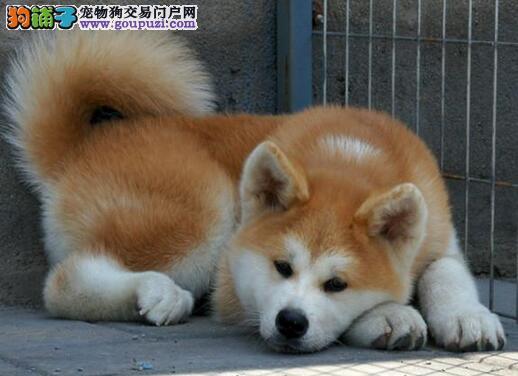 日本进口宫本血系秋田犬出售 海口市内免费送货
