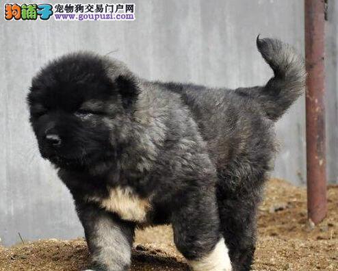 大骨架熊版广州高加索幼犬低价转让 请您放心选购