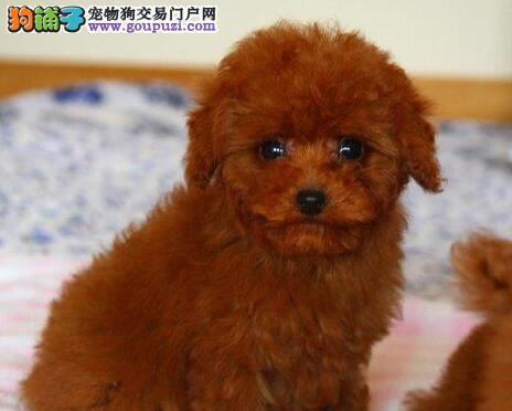 出售颜色齐全身体健康泰迪犬一宠一证视频挑选