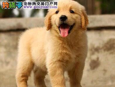 出售纯种金毛、品质第一价位最低、微信咨询看狗