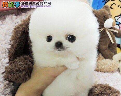 精品博美犬幼犬一对一视频服务买着放心质量三包完美售后