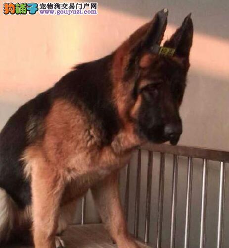 德国牧羊犬北京CKU认证犬舍自繁自销微信看狗可见父母