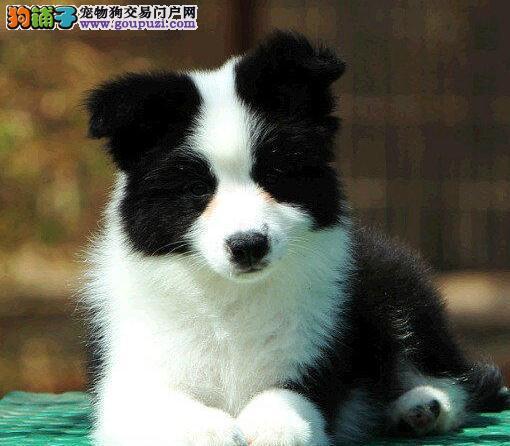 出售智商排名第一聪明可爱的边境牧羊犬