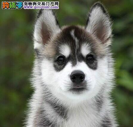 成都专业繁殖精品哈士奇犬出售保健康可预订