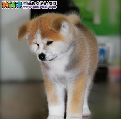 百分百健康纯种秋田犬热卖中真实照片视频挑选