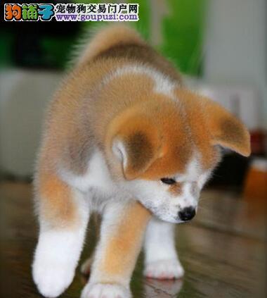 实物拍摄的哈尔滨秋田犬找新主人当日付款包邮