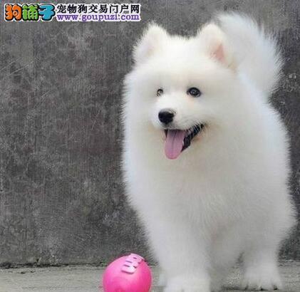 杭州犬舍出售极品雪白萨摩耶犬支持送货上门
