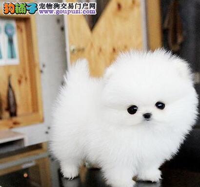 阿克苏知名犬舍出售多只赛级博美犬微信看狗真实照片包纯