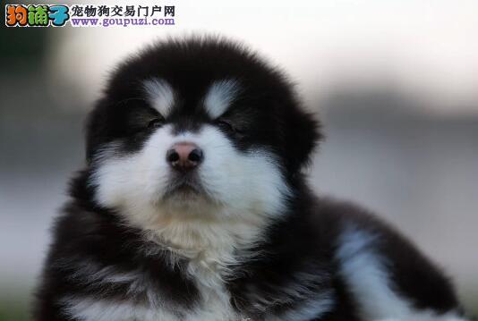军地出生拉布拉多犬 阿拉斯加雪橇犬