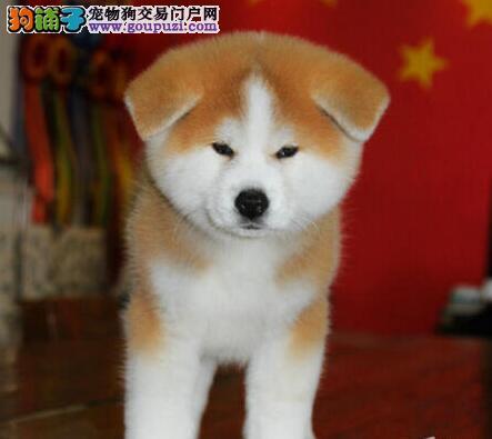 秋田犬CKU认证犬舍自繁自销签订协议终身质保