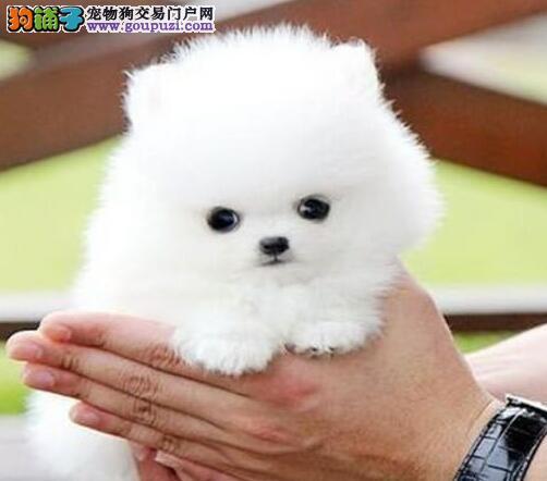 低价出售纯种哈多利版博美犬 欢迎来哈尔滨犬舍考察