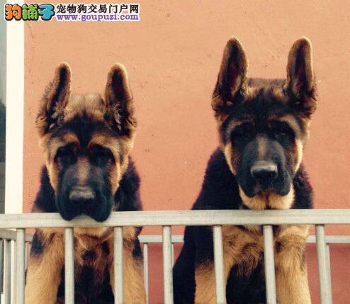 直销德国牧羊犬幼犬 国际血统品相好 全国送货上门