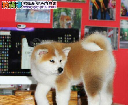 超霸气 超忠诚的秋田犬幼犬长春待售 顶级血统健康出售