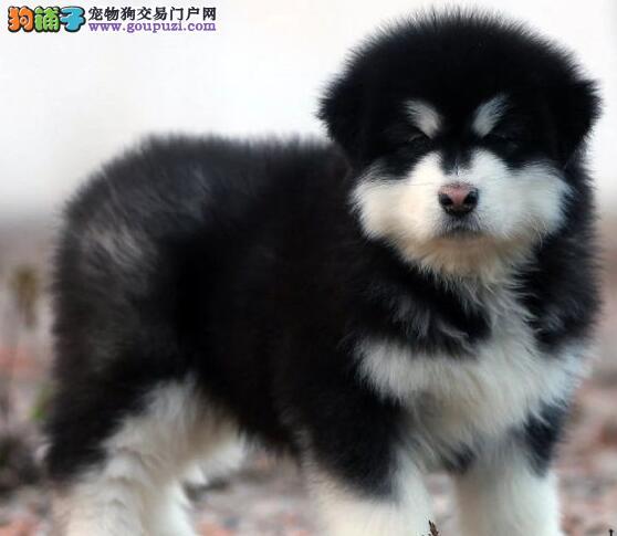 极品阿拉斯加犬幼犬、公母均有颜色齐全、全国送货上门