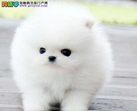 出售聪明可爱的柳州博美犬 健康质保终身售后