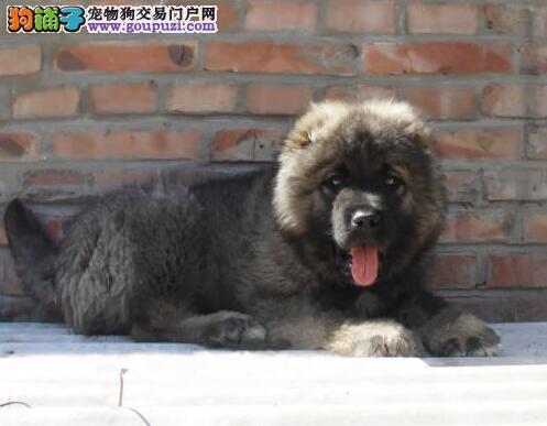秦皇岛犬舍出售俄系青灰色高加索幼犬可视频看狗