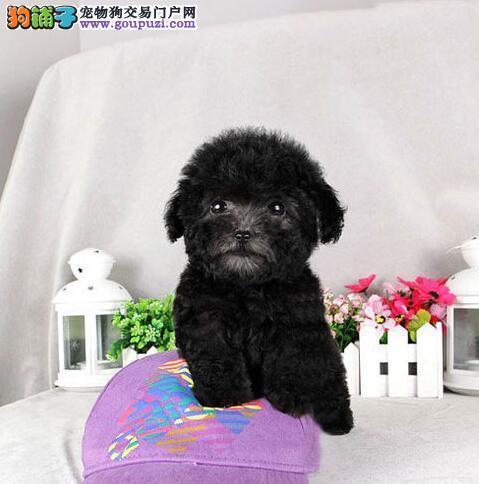 实体店促销精品泰迪犬乌鲁木齐市区购犬送狗粮
