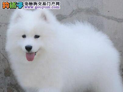 出售纯正血统的广州萨摩耶 保健康血统可随时视频看狗