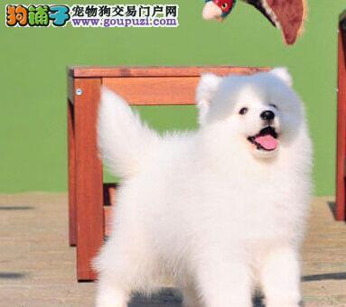 最专业的萨摩狗场出售雪白萨摩耶宝宝 四窝挑选