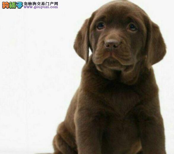 自家繁殖纯种沈阳拉布拉多犬公母都有品质保证