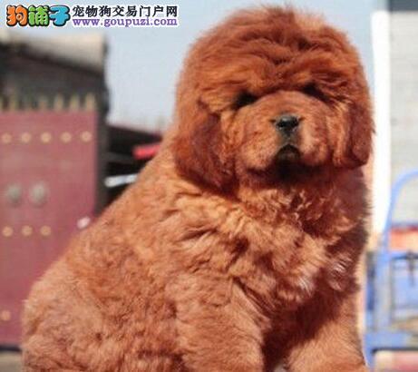 出售纯种健康的三亚藏獒幼犬微信咨询看狗狗视频