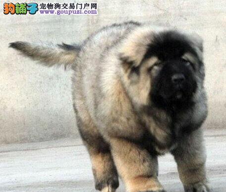 出售精品宁波高加索犬 毛量多骨架大值得挑选和购买