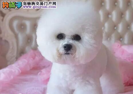 贵阳大型犬舍直销顶级优秀卷毛比熊犬 价格优惠可空运