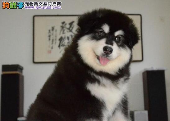 胖嘟嘟的深圳阿拉斯加犬找新家 血统纯种专业繁殖