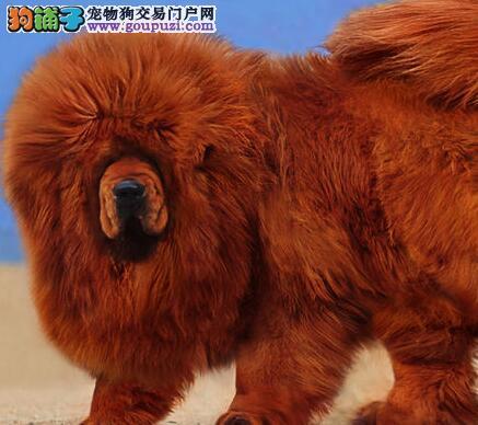 重庆哪里出售家养家养纯铁包金藏獒犬吊嘴吊眼质保
