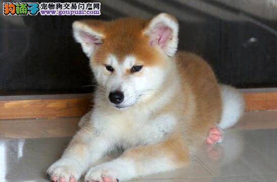 出售聪明伶俐武汉秋田犬品相极佳我们承诺售后三包