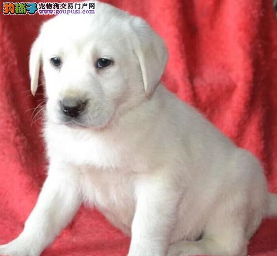 鞍山犬舍出售奶白色咖啡色拉布拉多犬 终身包品质