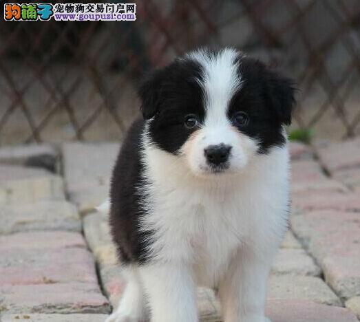 直销边境牧羊犬幼犬,纯度第一价位最低,全国空运到家